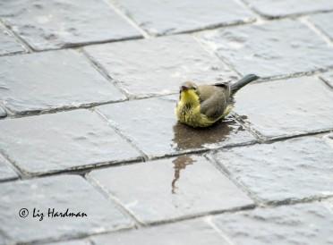 Malachite_sunbird_bathing_)2
