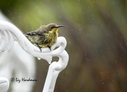Malachite_Sunbird_in_the_rain