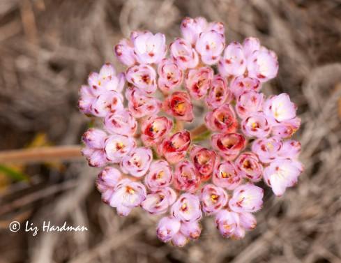 The flower head of Dilatris pillansii - a rhizomatous perennial.