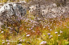 The Lilac powderpuffs - Pseudoselago spuria