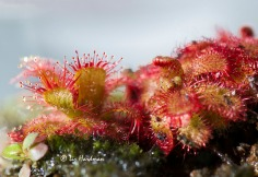 Insectivorous plants have evolved to supplement dietary needs in poor soils.