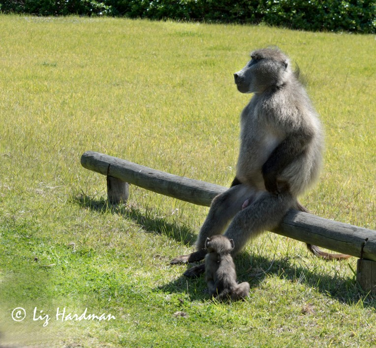 Chacma_baboon_alpha_male_01