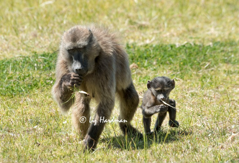 Baby_chacma_baboon_foraging_with _mother