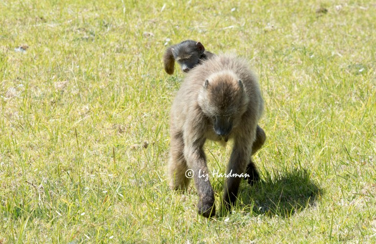 Chacma_baboons_foraging_01