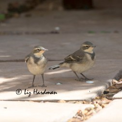Cape_Wagtail_fledglings_01