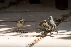 Feeding_Wagtail_chicks