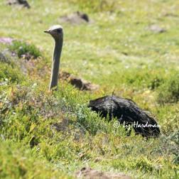 Ostrich_male