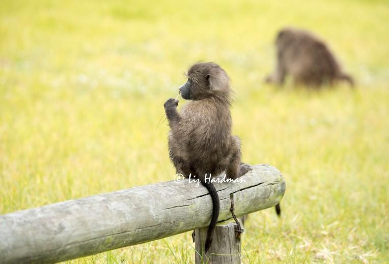 Baby_chacma_baboon_corms_