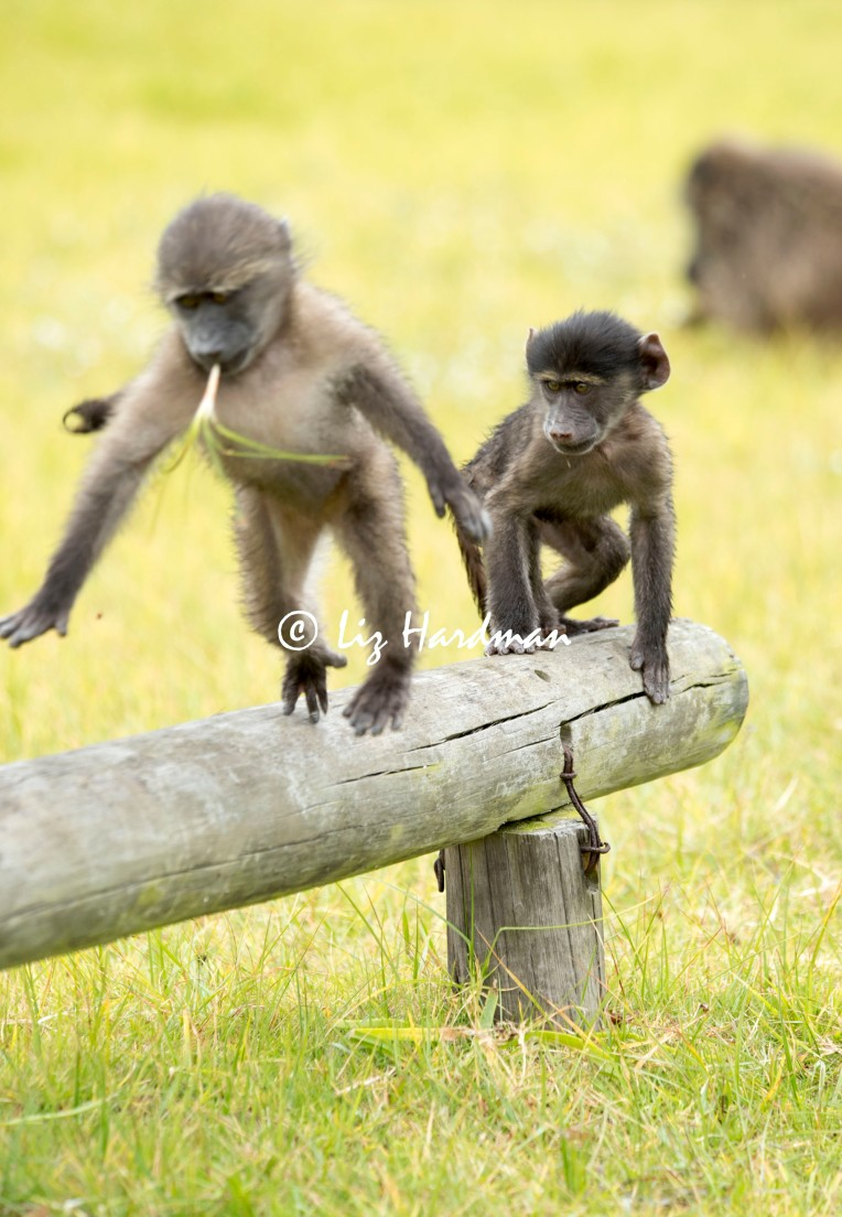 Chacma_baboon_babies_playing_01