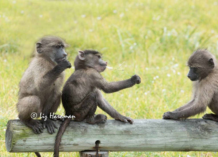 Chacma_baboon_babies__passing_the_corm