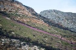The watsonias bloom_2016