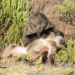 Chacma_baboons_grooming_01
