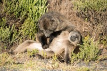 Chacma_baboons_grooming_03