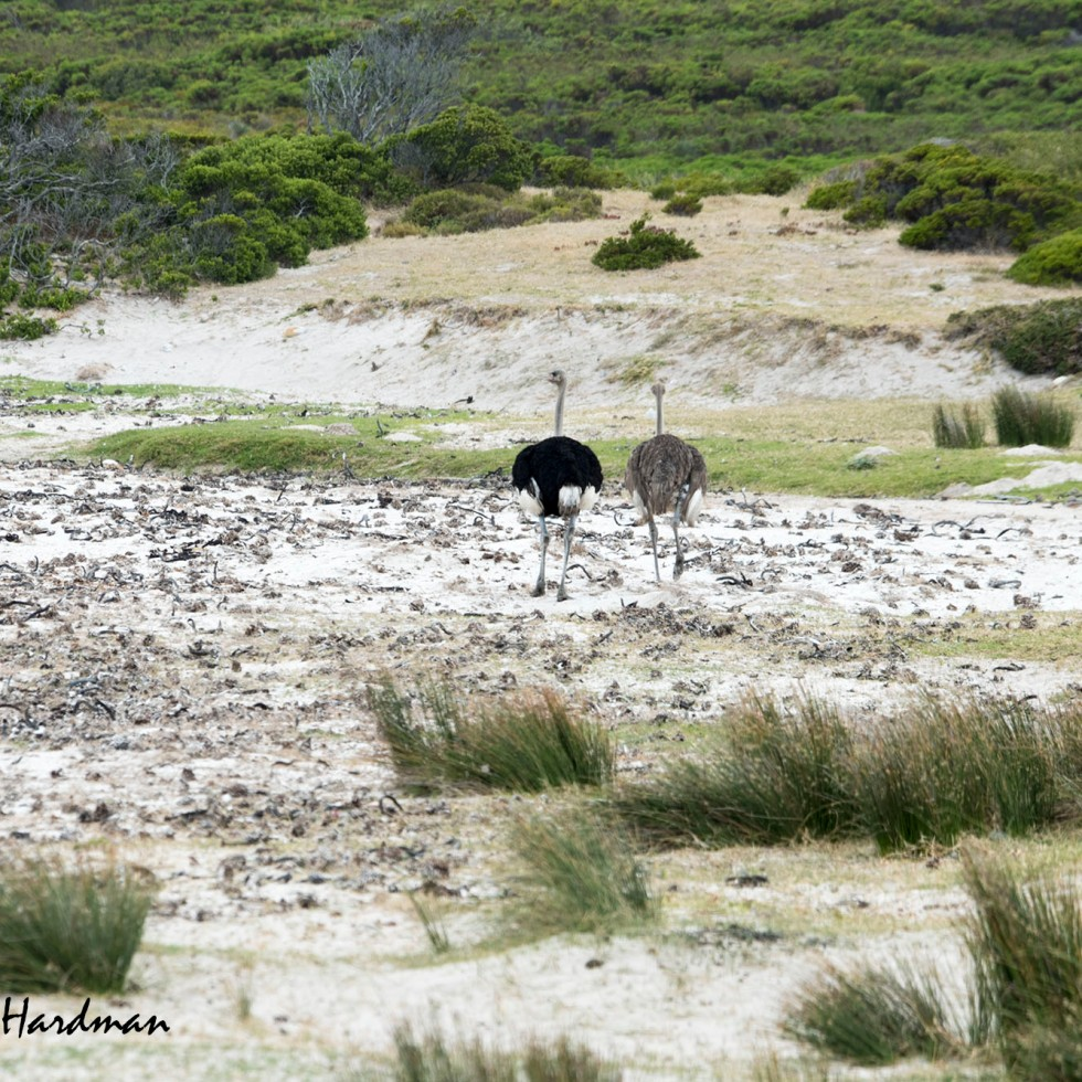 Ostrich males are attired in their dark colours while the females are a dowdy brown.