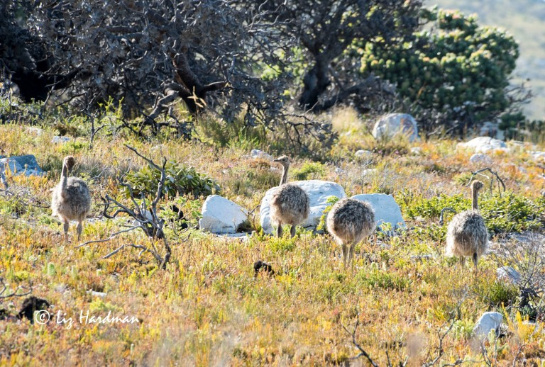 Ostrich chicks are well camouflaged to blend with the veld.