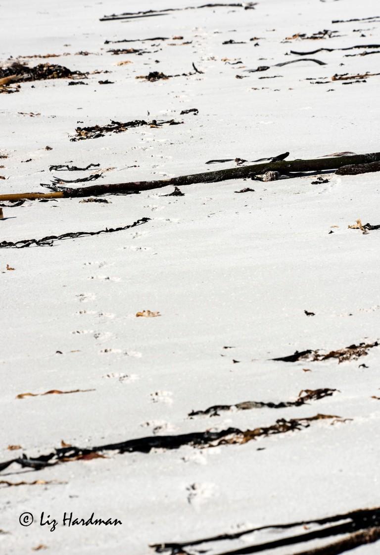 Baboon spoor track across the sandy beach