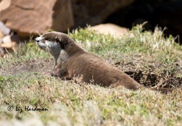 Cape Clawless Otter_01