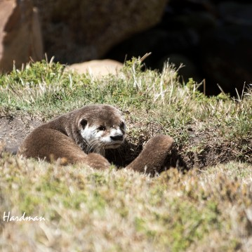 Cape Clawless Otter_02