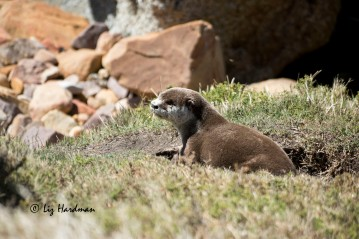 Cape Clawless Otter_05