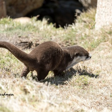 Cape Clawless Otter_06