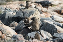 The juveniles enjoy a romp over the rocks in the company of dad.