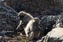 Baboons forage for mussels and limpets at low tide.