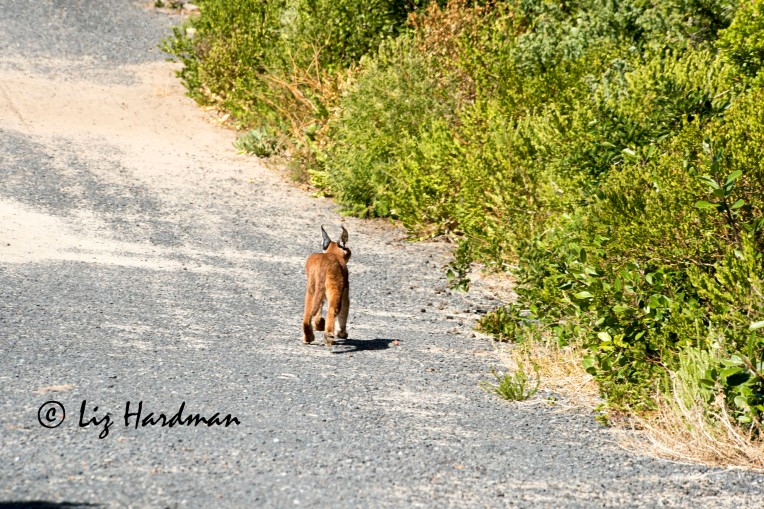A caracal lopes off into the nearby bush. Fortunately none of the baboons ended up as prey.