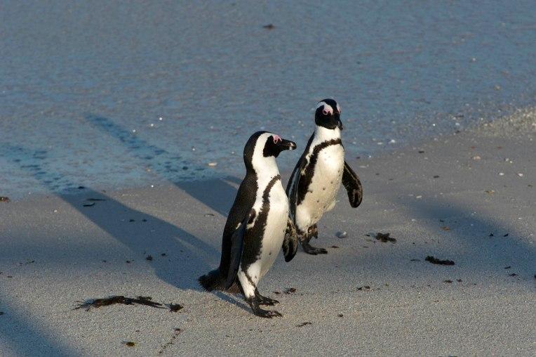 The charismatic African penguin - Spheniscus demersus returns from sea_01