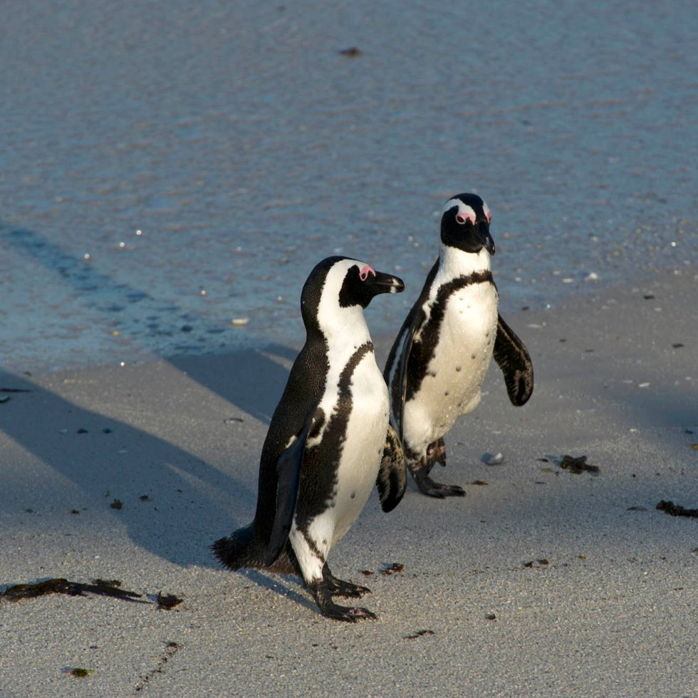 The charismatic African penguin - Spheniscus demersus returns from sea_01