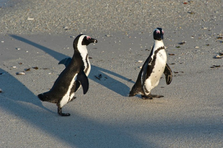 African penguins mate for life.