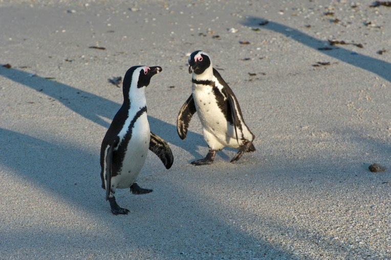 African penguins from the Boulders colony live on the urban edge.