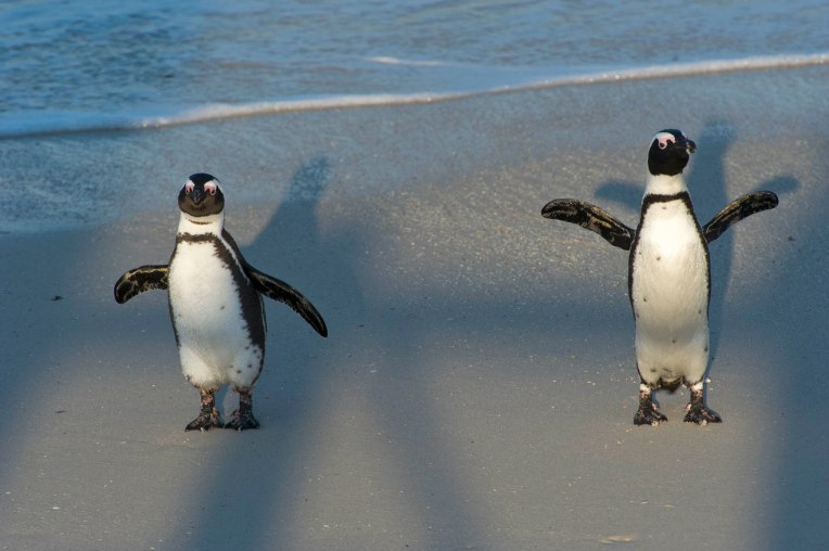 African penguins shadow dancing.