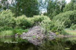 A beavers' lodge