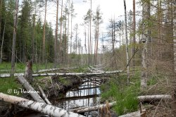 Birch trees felled across a river.
