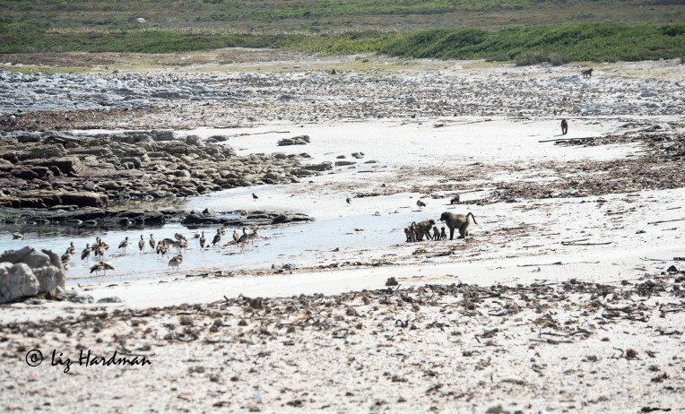 A fascinating scene where baboons and Egyptian geese hang out together at a fresh water source on the beach.