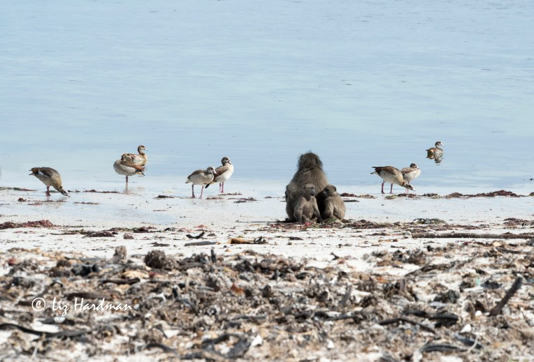 A male baboon with two juveniles sit calmly at the water's edge with a gaggle of Egyptian geese.