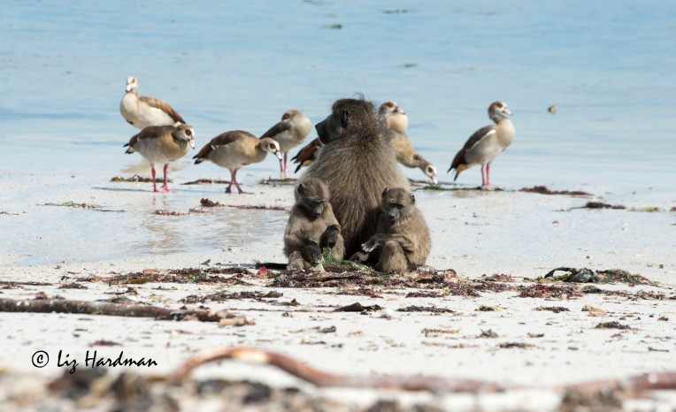 Juvenile baboons inspect seaweed as Dad surveys the birds.