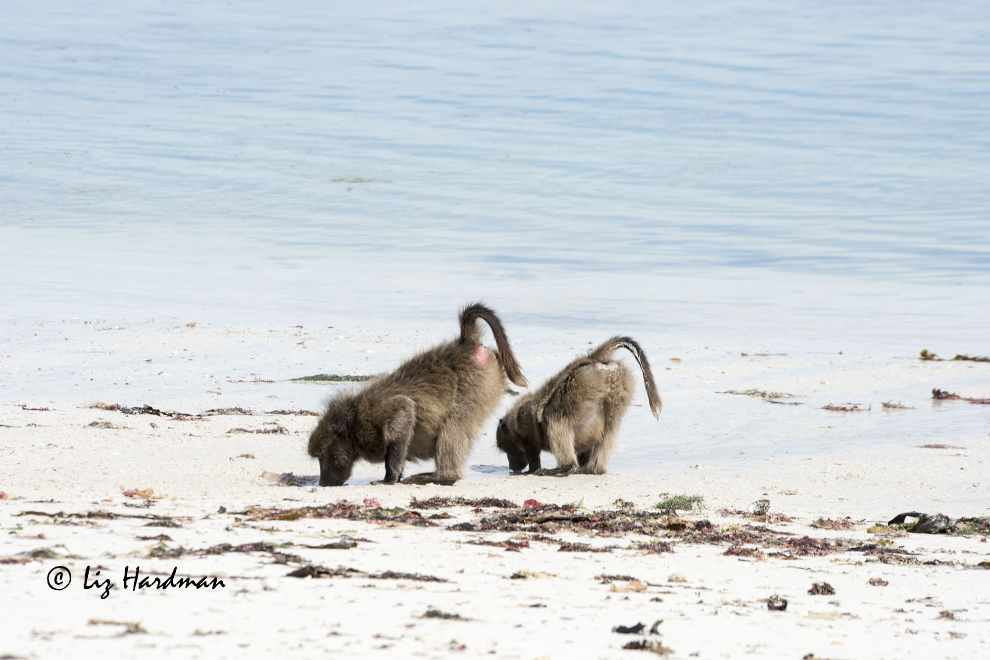 A fascinating sight as baboons find fresh water on the beach.