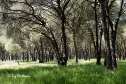 Stone pine forests form shady corridors in the cotos.