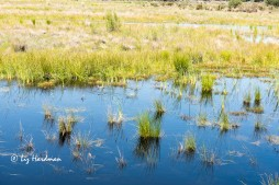 Waterfowl find refuge in the reedbeds and spinifex grass