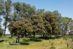 Wild olive trees and white poplars.