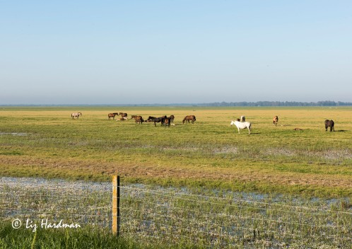Marsh horses - Marismeño is a rare breed of horse indigenous to the marshes of the Guadalquivir River.