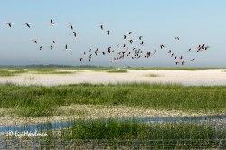 Flamingoes over Donana Wetlands park