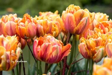 Tulips in full voluptuous form