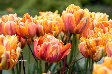 Tulips in full voluptuous form
