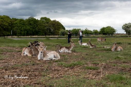 Fallow deer, Richmond Park
