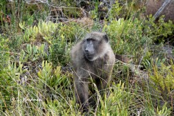 Baboon foraging