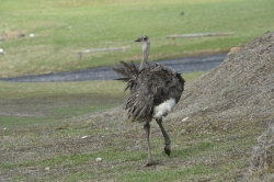 Ostrich awry