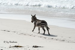 The zebra gallops across the sandy expanse.