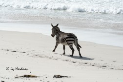 The zebra gallops across the sandy expanse.